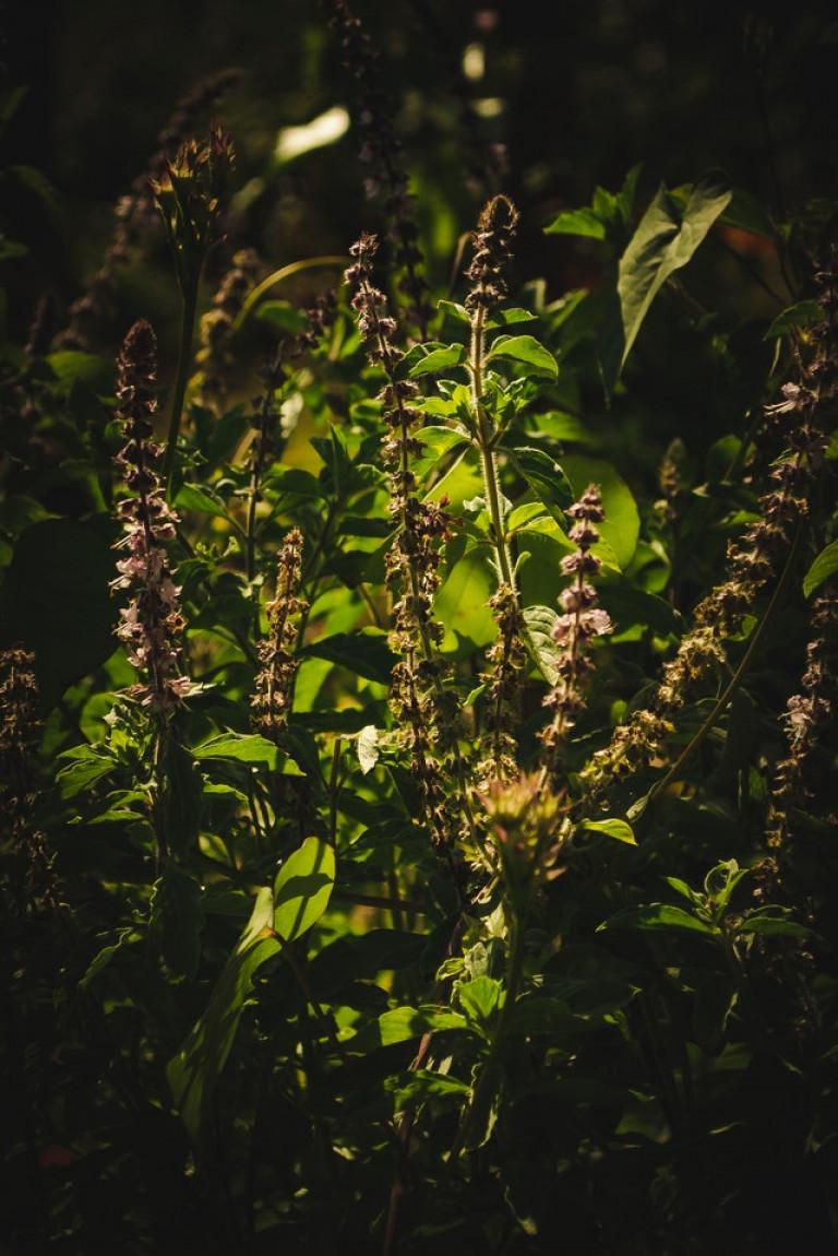 groeiende basilicum plant
