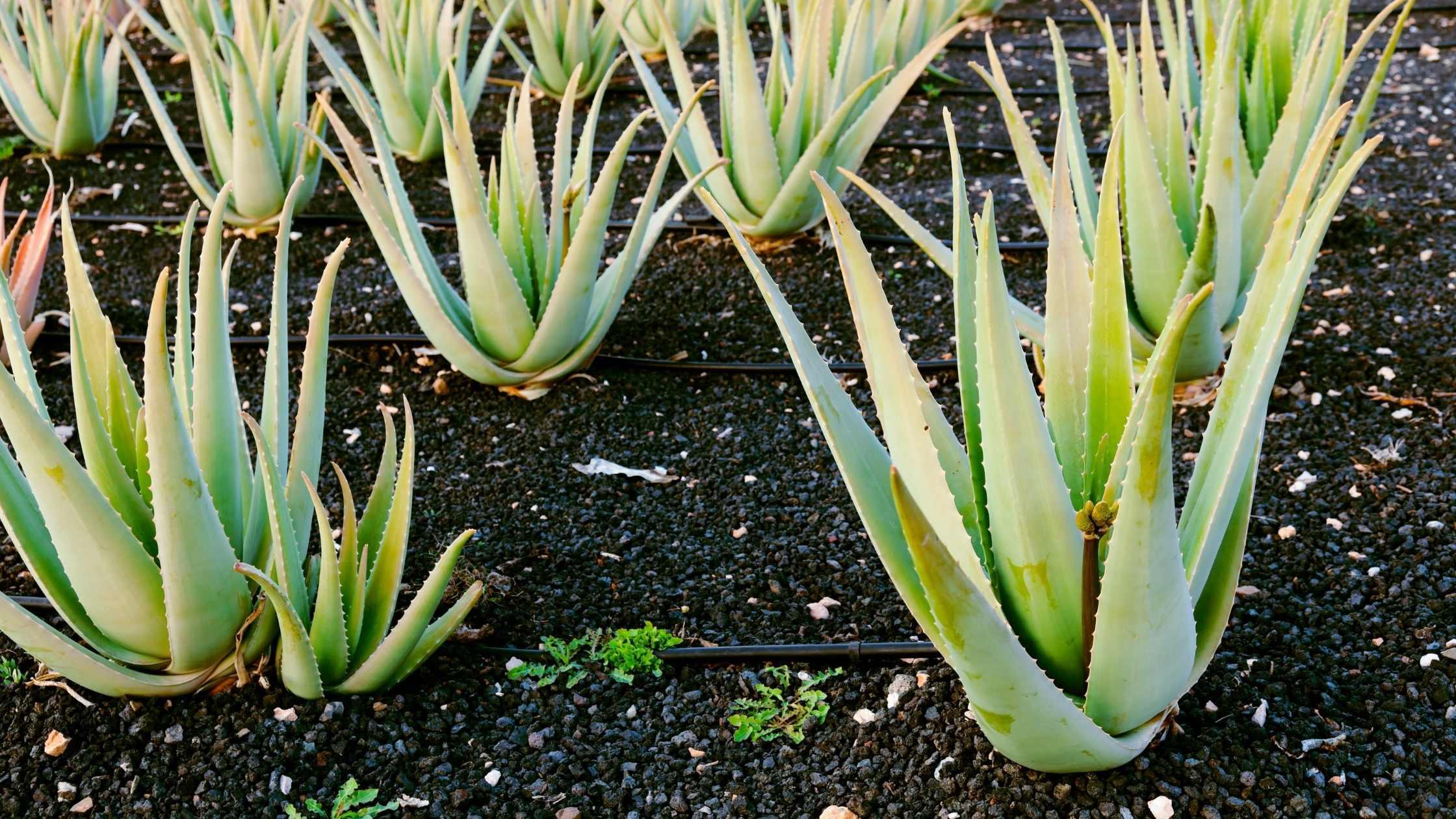 veld met aloe vera planten