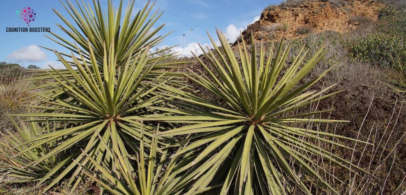 Yucca planten